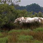 Die Camargue-Pferde