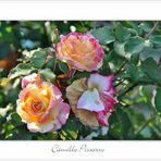Die Camille Pissarro Rose