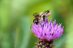 Die Dame - Totholz-Blattschneiderbiene oder Große Garten-Blattschneiderbiene