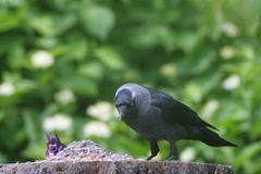 Die Dohle ,Corvus monedula