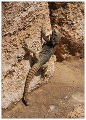 Die Drachenschwanzagame von Rhodos