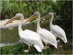 Die drei Pelikane
