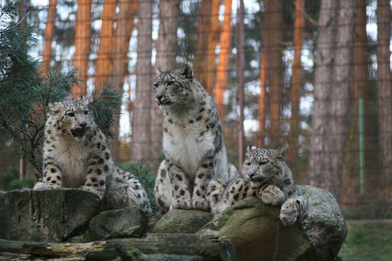 Die Drei Schneeleoparden