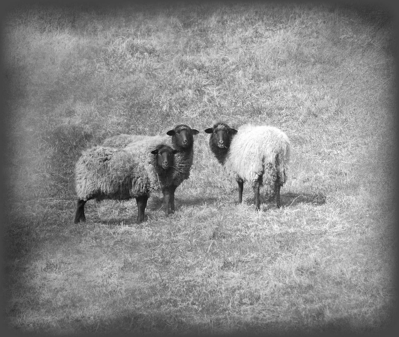 die Drei ..... von der Schafweide :-)