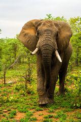 Die dritte Aufnahme des Elefanten aus dem Busch ... (3)