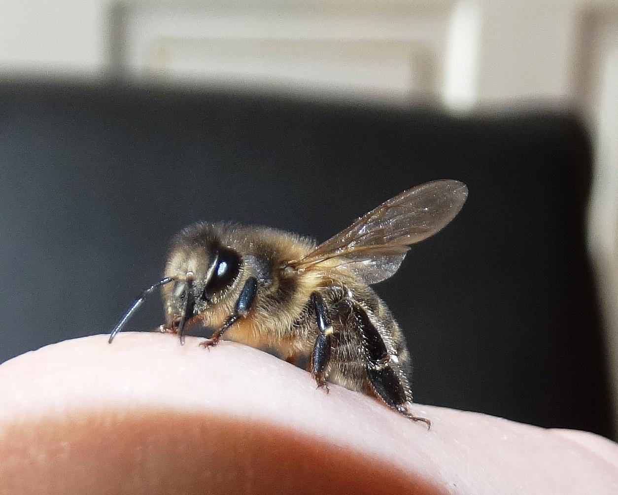 Die echte Biene Maya ,auf meiner Hand .