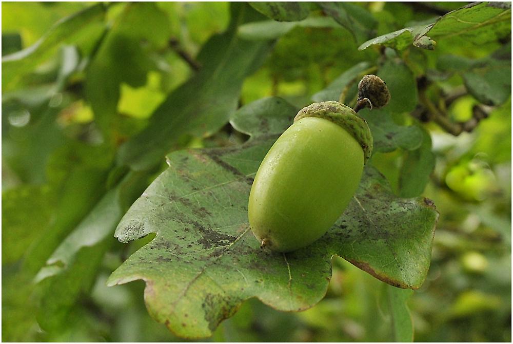 Die Eichen (Quercus) ....