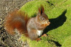 Die Eichhörnchen im Großen Garten Dresden ...