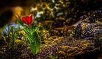 """""""Die einsame Tulpe, in Nachbar's Garten"""""""