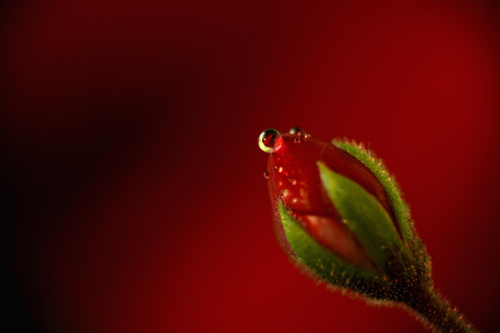 die einsame ungeöffnete rose mit dem tropfen ...