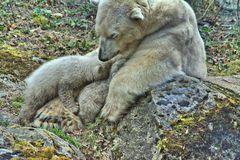Die Eisbärenbabys machen Pause