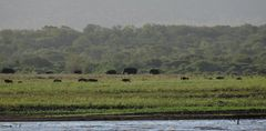 Die Elefanten kommen. Vorne eine Gruppe Gnus.