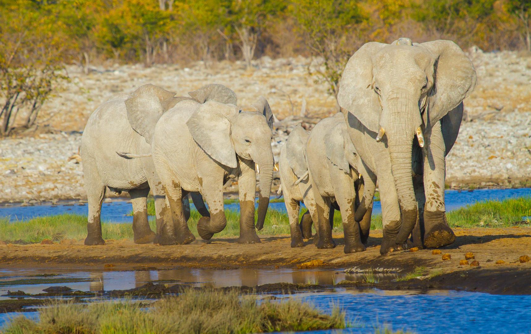 Die Elefantenfamilie kommt zum Baden