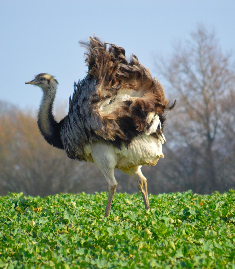 Die Emu´s laufen bei uns frei auf den Feldern rum ... :o)