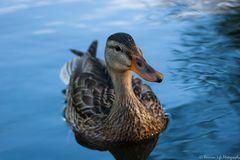Die Ente die da schwamm...