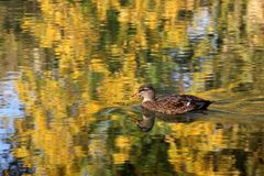 Die Ente im Neckar