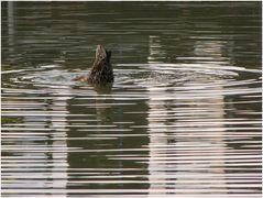 Die Ente und ihr Kommentar zum Wetter