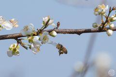 °° die erste Biene °°
