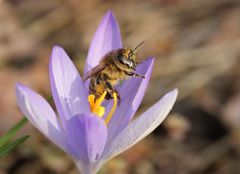 Die erste Biene die ich dieses Jahr fand