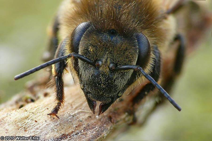 Die erste Biene dieses Jahr...