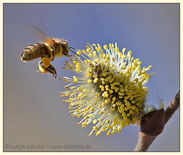 die erste Bienen-Mahlzeit