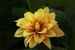 Die erste Blüte der Mini-Dahlie....