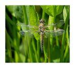 Die erste frisch geschlüpfte Libelle in diesem Jahr an meinem Teich.