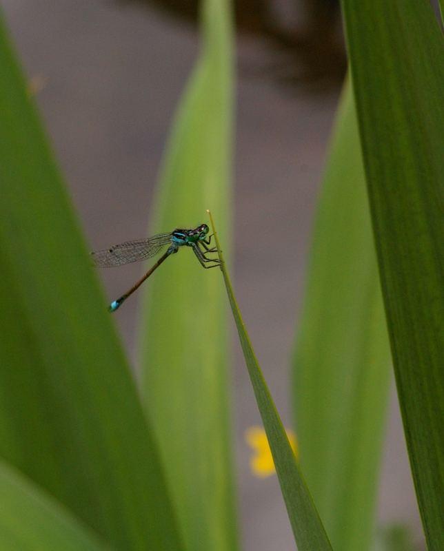 Die erste Libelle