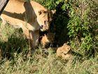 .......die erste Löwenmama mit....