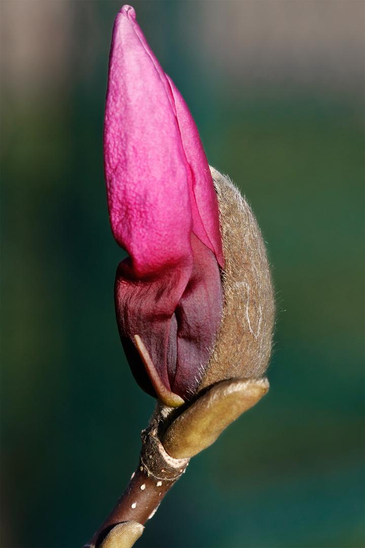 Die erste Magnolien Blüte