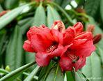Die erste Rhododendronblüte