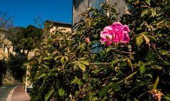 Die erste Rose 2019