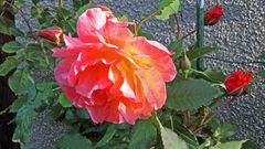 Die erste Rosenblüte im Garten geöffnet