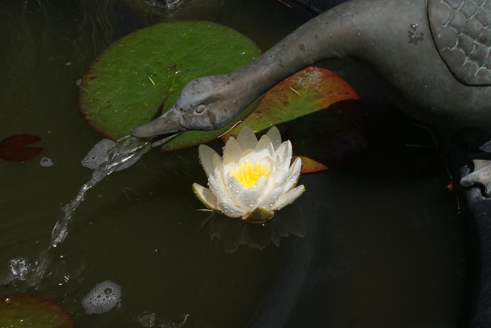 Die erste Seerose im Garten 1