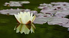 Die erste Seerosenblüte...
