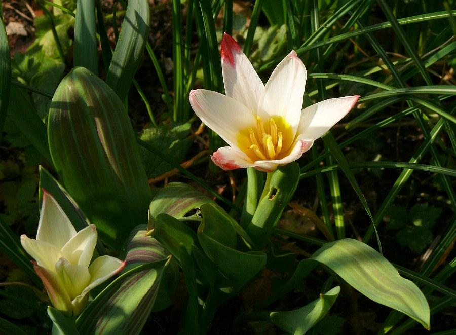 Die erste Tulpe