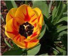 Die erste Tulpe in unserem Garten