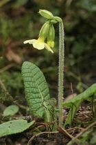 Die erste Waldschlüsselblume