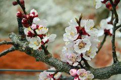 Die ersten Apfelblüten