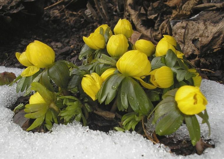 die ersten Blüten im Schnee...