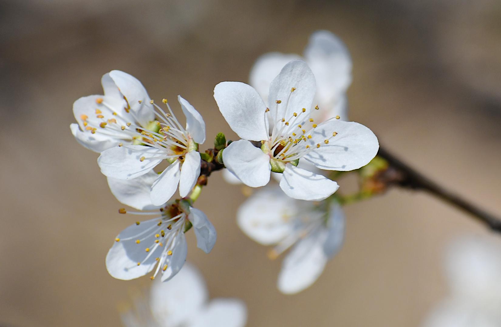 Die ersten filigranen Blütenknospen (2), ...