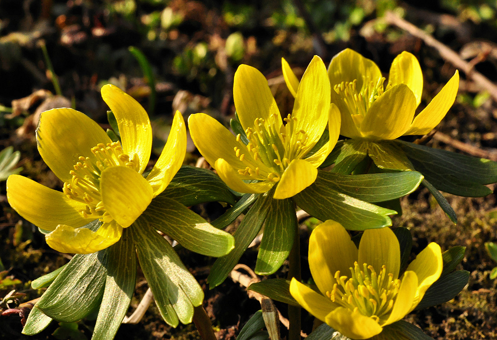 Die ersten Frühlingsboten.....