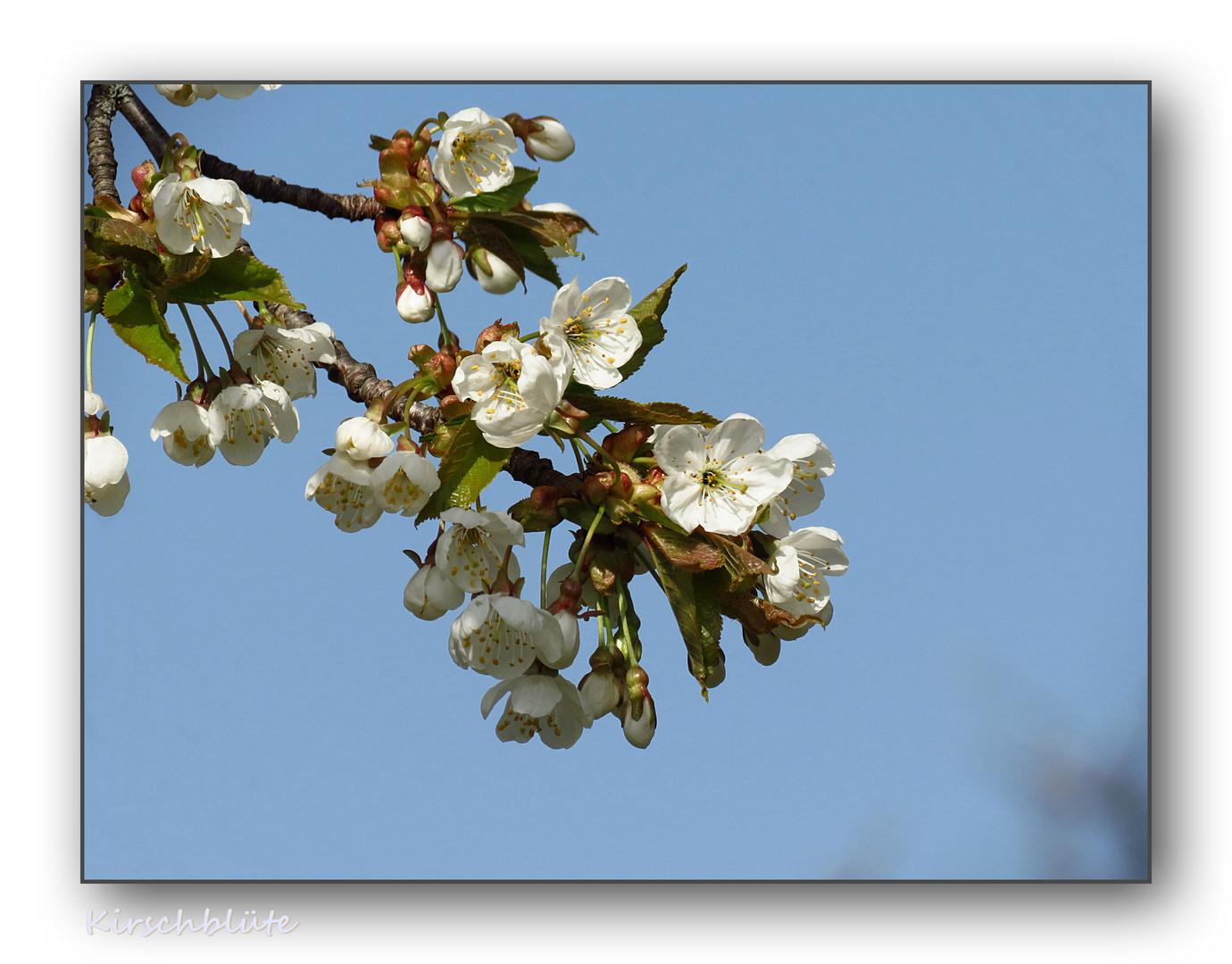 die ersten Kirschbäume