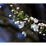 die ersten Kirschblüten .......