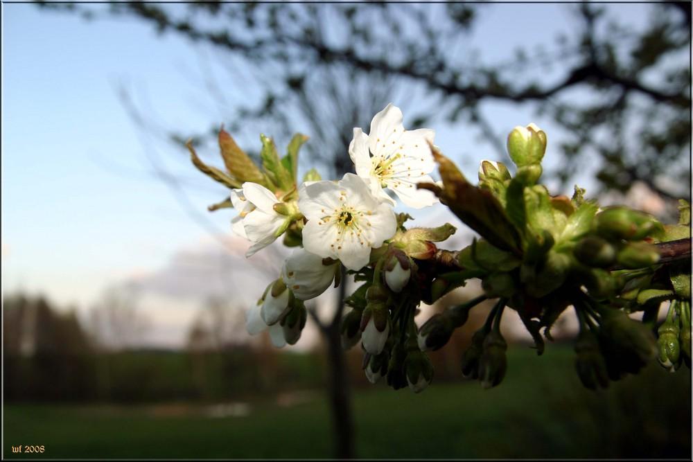 Die Ersten Kirschblüten