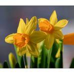 die ersten Osterglocken blühen.......