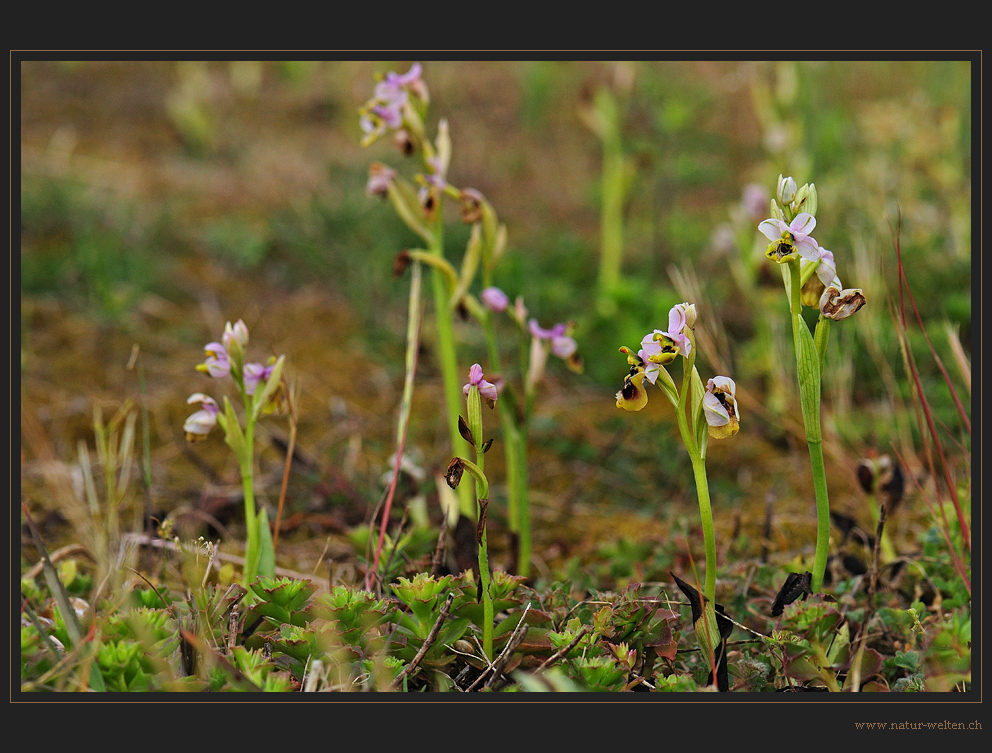 Die ersten Ragwurz-Orchideen