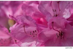 Die ersten Rhododendren...