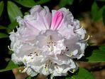 Die ersten Rhododendron-Blüten