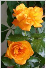 die ersten rosen.....